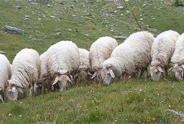 Pecora-Brigasca